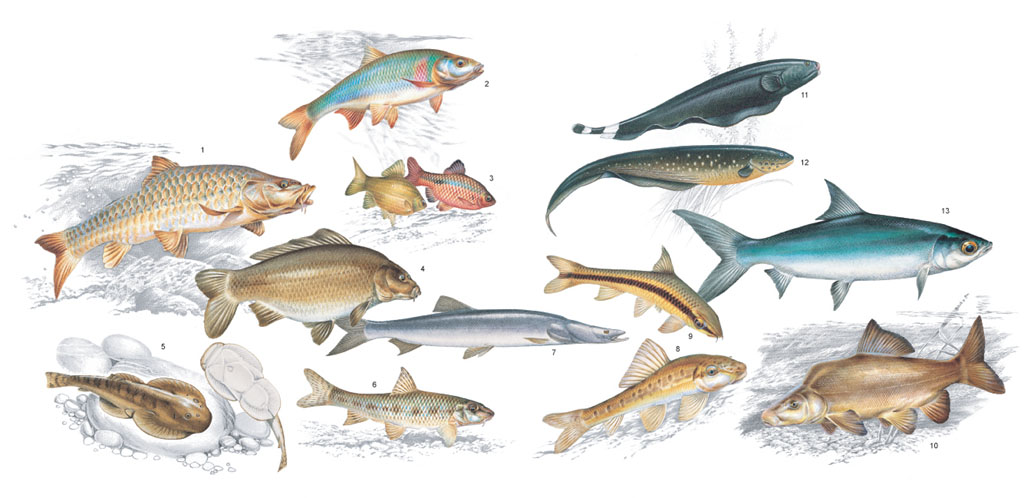 Characins, Catfishes, Carps, and Allies - Oxford Reference